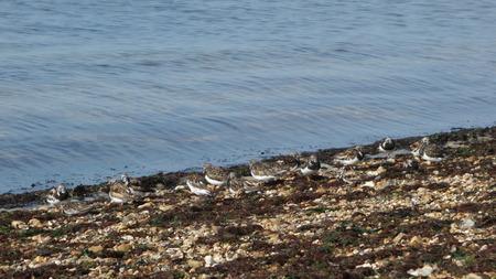 botas altas: Ruddy vuelvepiedras en Shoreline