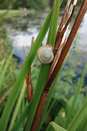 reed: Snail on Reed