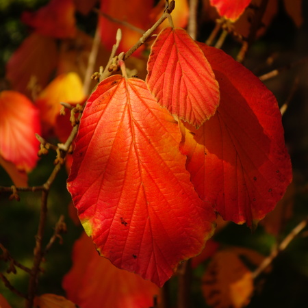 hazel: Witch Hazel Leaves Stock Photo