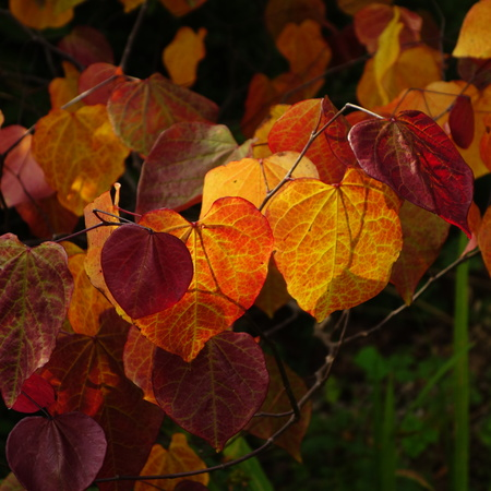 canadensis: Cercis Canadensis Forest Pansy Stock Photo