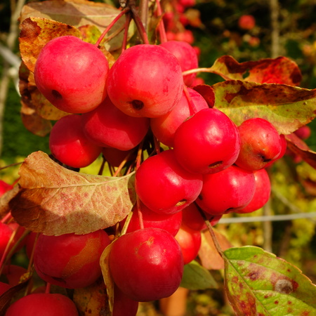 the sentinel: Red Crab Apples