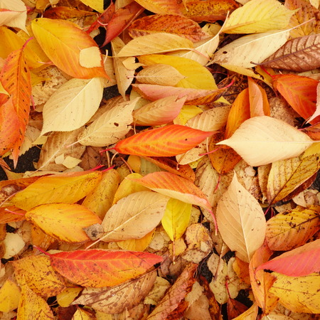 fall leaf: Carpet of Cherry Tree Leaves Stock Photo