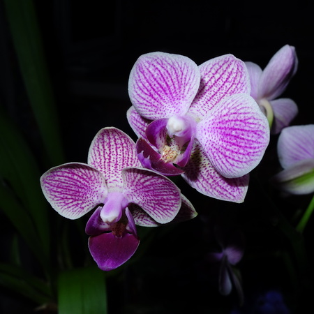 speckle: Pink Orchid Flowers