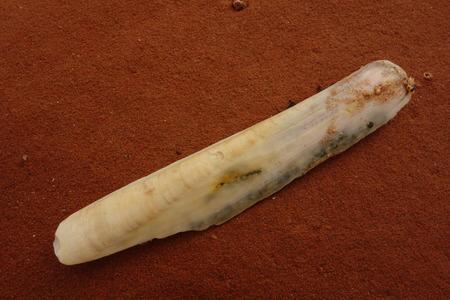 razor: Razor Shell on Sandstone
