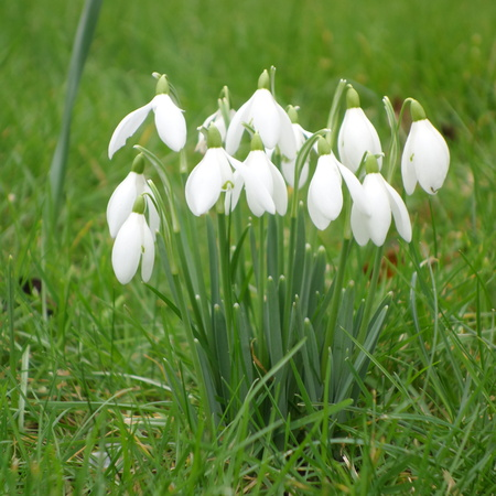 galanthus: Galanthus nivalis Stock Photo