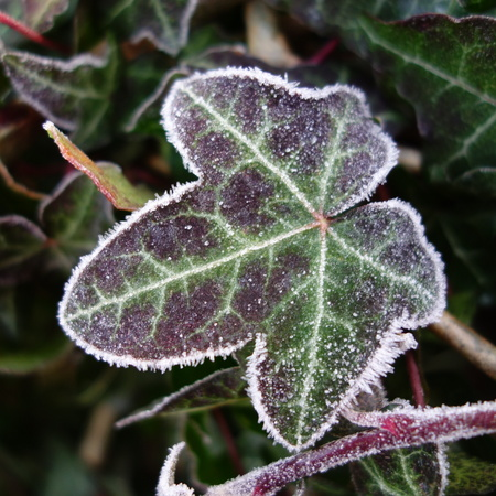 frosted: Frosted Ivy Leaf