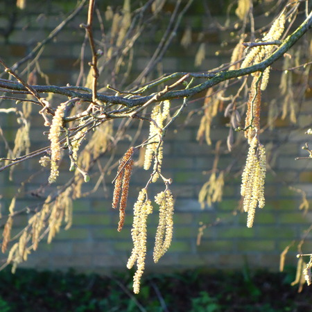 hazel: Hazel Catkins Stock Photo