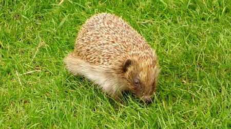 european: European Hedgehog Stock Photo