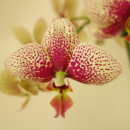 speckle: Moth Orchid Stock Photo