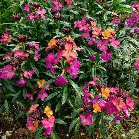 Perennial Wallflower Stock Photo