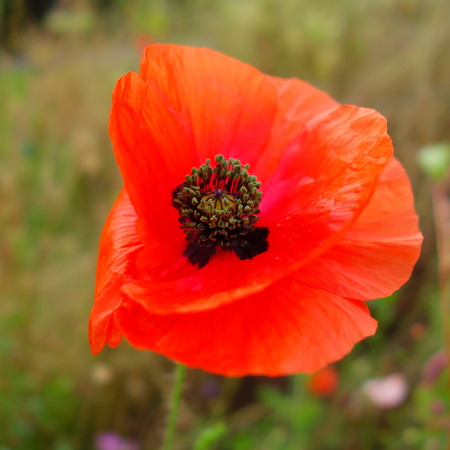 papery: Orange Poppy