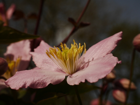 clematis flower: Pink Clematis Montana Flower Stock Photo