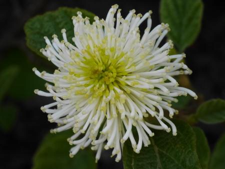 Fothergilla Major Blossom Stock Photo - 78970587