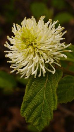 Fothergilla Major Blossom Stock Photo