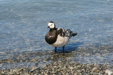 Barnacle Goose Stock fotó - 84471052