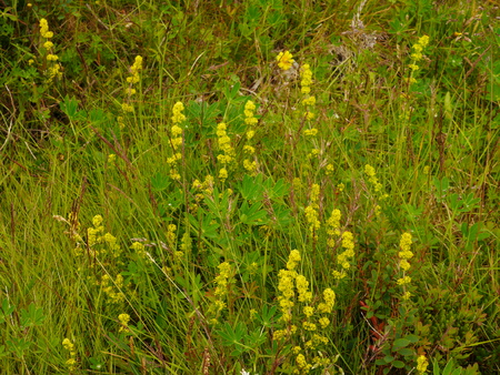 Ladys Bedstraw Flowers