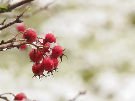 Red Hawthorn Berries in Winter