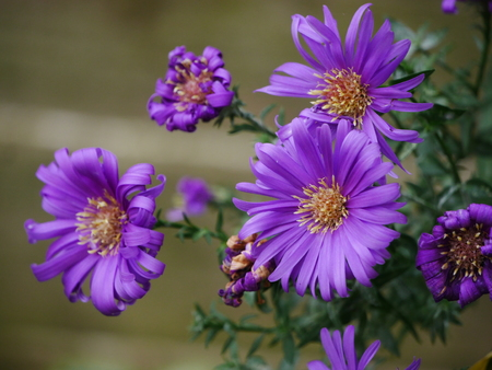 Close up of a cluster of purple michaelmas daisies (asters)