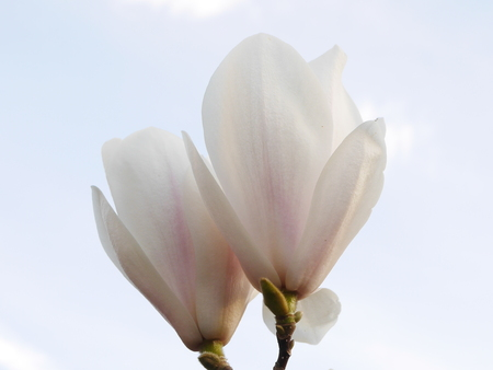 Side View Of Large White Magnolia Flowers With Sky In Background