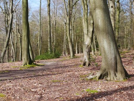 Path in beech woodland in early spring, Chiltern Hills, Oxfordshire, England