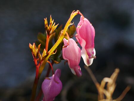 Emerging stems and pink bleeding heart flowers (dicentra  spectabilis) Stock Photo