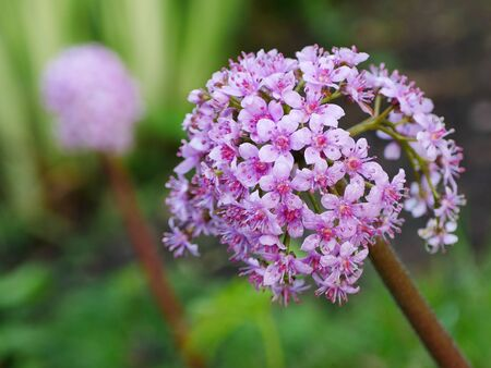 Closeup of a darmera peltata stem and pink flower with another one in background