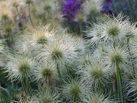 Cluster of white pasque flower (pulsatilla) seed heads