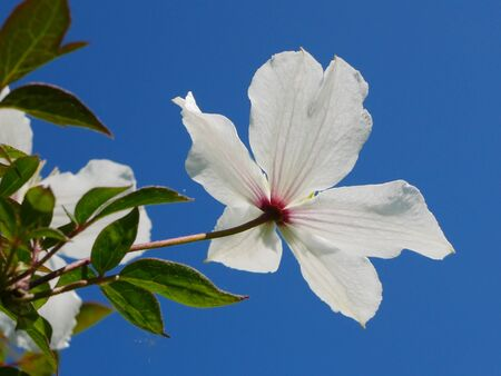 Backlit white clematis montana flower in blue sky Stock Photo