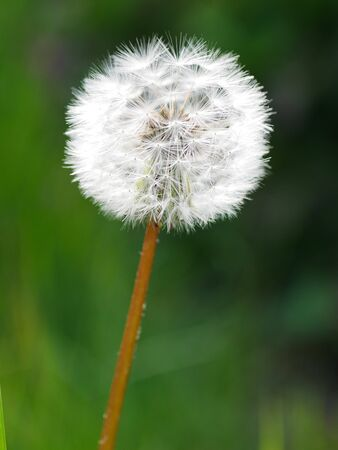 Closeup of a white dandelion seed head on reddish stem