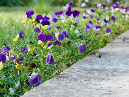 Purple and yellow violas growing between lawn and patio