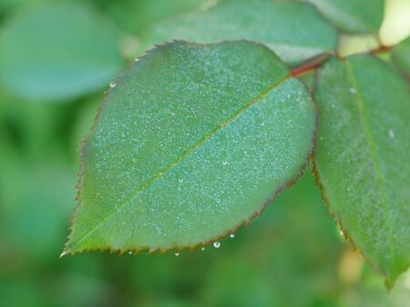 Closeup of dew drops on green rose leaf with slightly serrated edge Stock Photo
