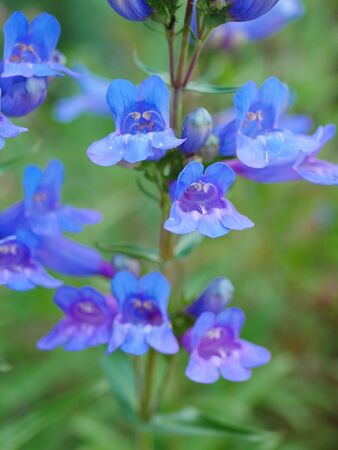 Closeup of cluster of bright blue penstemon flowers Stock Photo