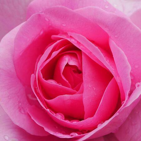 Closeup of a pink Gertrude Jekyll rose flower Stock Photo