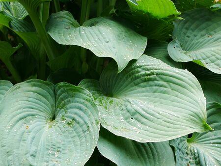 Large greenish blue hosta leaves with raindrops
