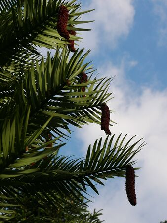 Section of wollemi pine tree (Wollemia nobilis) with pine cones and blue sky and white clouds behind