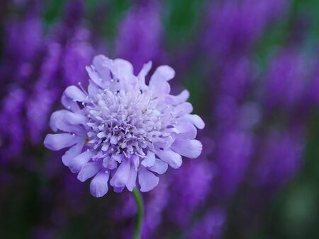 Pale purple pincushion flower (scabious) with purple salvia flowers in background
