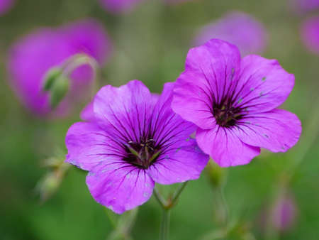 Closeup of purple hardy geranium flowers with others in background