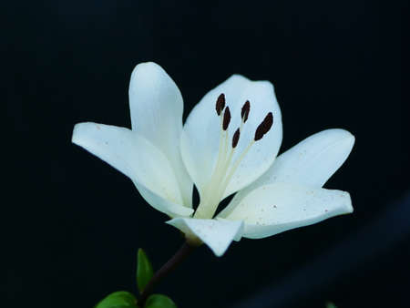 Close up of white lily flower against dark background