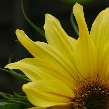 Close up of one quarter of a lemon yellow sunflower Stock Photo
