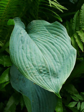 Close up of a large glaucous hosta leaf Stock Photo