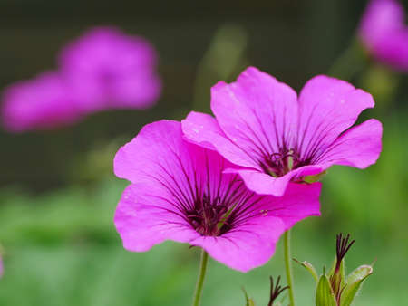Close up of two pink cranesbill (hardy geranium) flowers