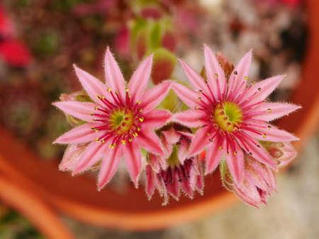 Close up of pink sempervivum flowers in a terracotta pot