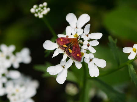 Close up of a mint moth (Pyrausta aurata) on white candytuft flower