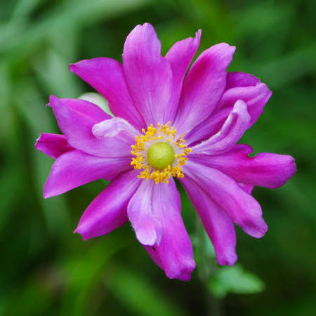 Closeup of a pink japanese anemone flower with yellow centre