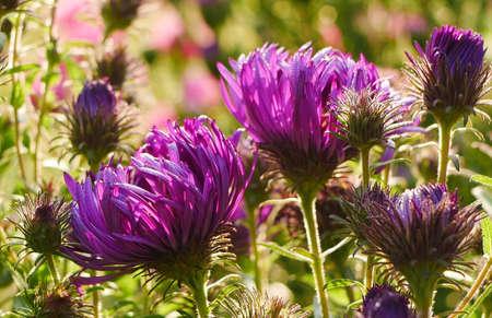 Closeup of backlit purple aster flowers (Michaelmas daisies) Stock Photo