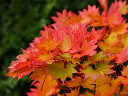 Red and orange leaves of acer shirasawanum aureum (golden full moon maple) in autumn