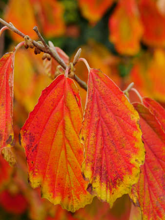 Red orange and yellow leaves of hamamelis (witch hazel) in Autumn