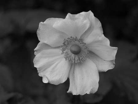 Closeup of a white japanese anemone Honorine Jobert flower in black and white