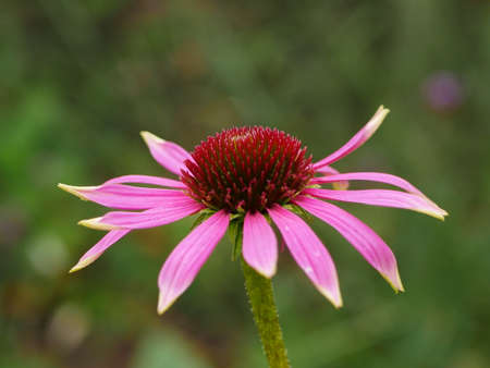 Closeup from the side of pink petals and red centre of a coneflower Stock Photo