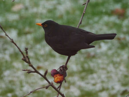 Blackbird perched in tree with snow on grass behind